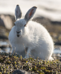 Arctic Hare - Photo: Bo Normander